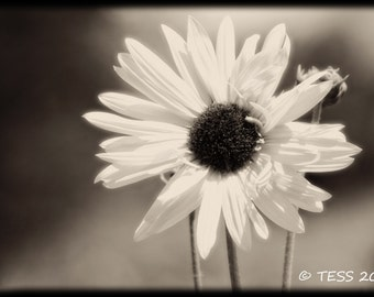 Sepia Sunflower Photography  -  Flower Print -  Greeting Card Photo - Nature Photography - Botanical