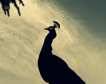 Peacock Photograph, Black And White Bird Art, Nature Home Decor, Silhouette Photo, Animal Photography