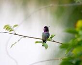 Bird Photography - Bird Art Print - Birds Wall Art Print - Hummingbird Photography - Nature Photography - Hummingbird Art - Animal Art Print