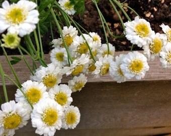 Feverfew Seeds (Tanacetum parthenium)