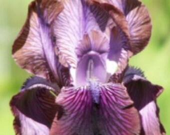 Arilbred Bearded Iris AFROSIAB, 2001 Light Purple & Brown, Fragrant