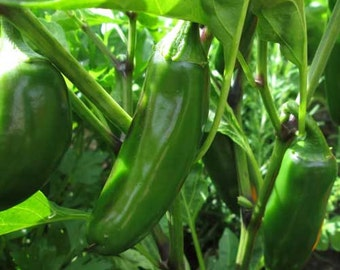 Organic Jalapeno Pepper Seeds