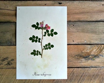 Eglantine Rose Herbarium Specimen - Real Pressed Rose