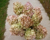 Dried Hydrangeas Light Green, Mauve, Brown Colored  Flowers