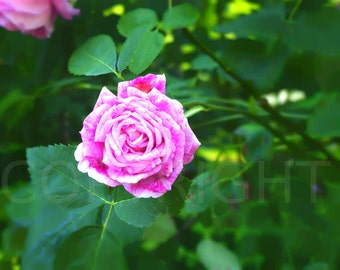 Pink Rose Garden Botanical Photography Photo 4x6 or 5x7 or 8x10