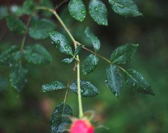 Raindrops on Roses - 8x10 Fine Art Photograph, Flower, Leaves, Nature, Garden Photography