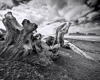 Tree Stump Driftwood on Rialto Beach in the Olympic National Park in Washington State No.163 A Black and White Fine Art Photograph