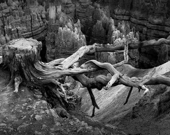 Pine Tree Stump and Roots on a Ridge in Bryce Canyon National Park in Utah No.0724BW A Black and White Fine Art Landscape Photograph