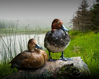 Canvasback Duck Pair by a Pond No.0324 - A Fine Art Waterfowl Migratory Bird Photograph
