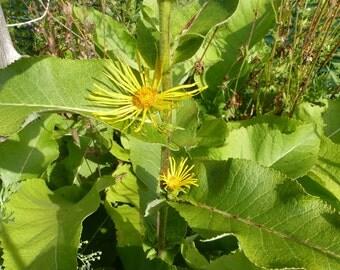 Elecampane Seed-Organic Heirloom Herb Seed-non-gmo seed