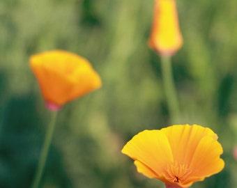 yellow decor green flower photography poppy field farmhouse / 12x12 Fine Art Photograph