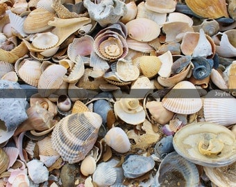 Photography Print... 11x14 Carolina Seashell Close Up