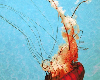 Jellyfish Photograph, Red Blue Orange Print, Sea Life, Beautiful Jellyfish Floating, 8x10 Marine Life Print
