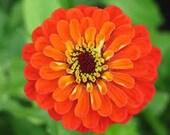 SALE Orange Zinnia Heirloom Seeds Rare