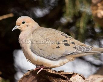 Mourning Dove Photograph - Dove Bird Print, 5x7 Photo