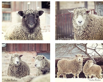 Sheep, rustic decor, french country, farm animal photography set of 4 8x10