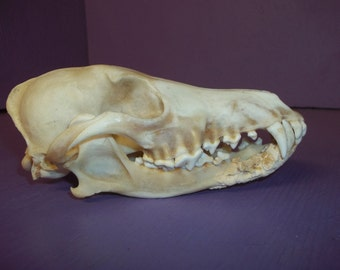 Real animal bone coyote deformed skull skeleton head taxidermy parts