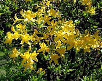 15 Giant Yellow Azalea Seeds-1232