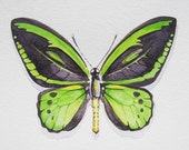 Cairns Birdwing Butterfly Watercolor Print