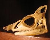 Real Meller's Chameleon Skull (Trioceros melleri) Lizard Reptile Specimen