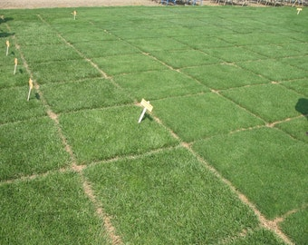 Heirloom 10000 Seeds Grass Seed lawn grass Easy to Grow F63