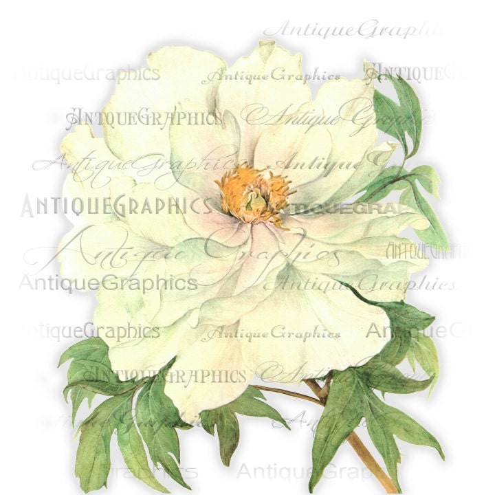 White Peony Flower Art Instant Download White Peony Flower Digital Download Flower Graphic Image