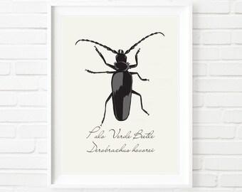 Entomology Beetle Art Print - Scientific Style Illustration Print - Palo Verde Beetle - Derobrachus Hovorei