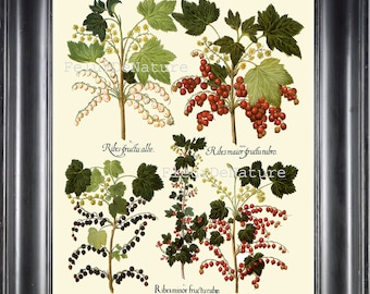 BOTANICAL PRINT Besler 8x10 Botanical Art Print 61 Beautiful White Red Black Currants Plant Bush Garden Berry Fruit Antique Writing to Frame