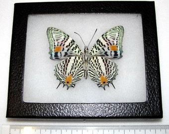 Real leopard peruvian baeotus amazonicus verso framed butterfly insect