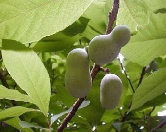 50 Common PawPaw Tree Seeds, Asimina triloba