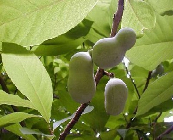 50 common pawpaw tree seeds asimina triloba. Black Bedroom Furniture Sets. Home Design Ideas