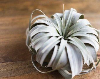 Air Plant Xerographica King of Tillandsia