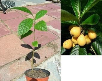 Japanese Plum Loquat Fruit Tree Seedling Plant, P8593