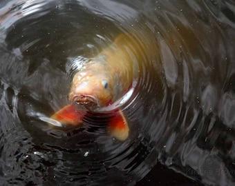 Japanese koi fish photo nature photography swimming for Ph for koi fish