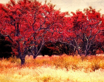 Photography Fine Art Print * Nature Fine Art Red Trees Home Decor - Red Orchards