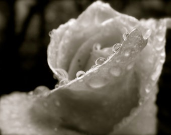 Nature Photography, Flower, Water Drop, Pacific Northwest, Home Decor, Romantic, Valentine's Day, fPOE, Black and White Rose After Rain