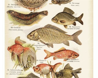 Antique Natural History Print -GoldFish- Goldbutt- Himmelsauge - Original and goregoues Colorful
