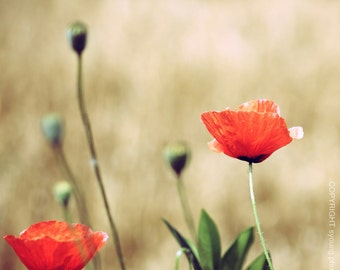 Vintage Summer - Fine Art Photography Print - 8x8 12x12  8x10 8x12 - Photography floral flower poppy red beige green nature romantic home