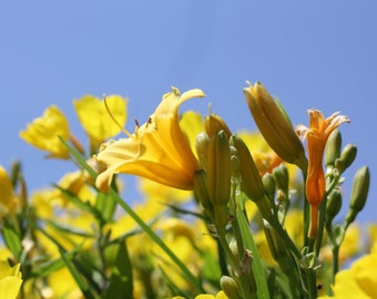 Photo Print - Day Lillies, Yellow Lillies, New England Flowers