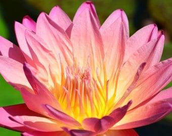 Pid Lily Pad Blossom