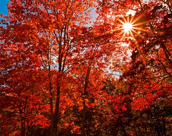 Scarlet Red Autumn Trees in Sunshine Fine art Photography Print as a Gift For the Home