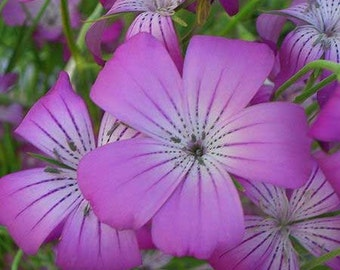 Agrostemma flower seeds,103, gardening, flower seeds,spring flower, seeds,purple flower