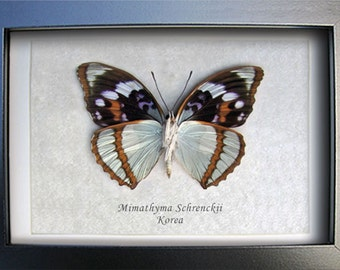 Seafoam Blue Mimathyma Schrenckii Real Framed Butterflies From Korea In Shadowbox