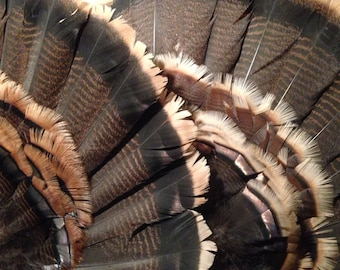 Wild Turkey Tail Fan -- Feathers -- Free shipping