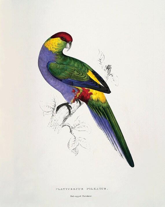 Parrot Art Print Antique Bird Print Nature Wall Art Victorian Print Home Decor Art Vintage Wall