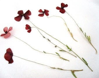Dried Pressed Flowers / Botanicals. Small Poppy with stem and leaf.