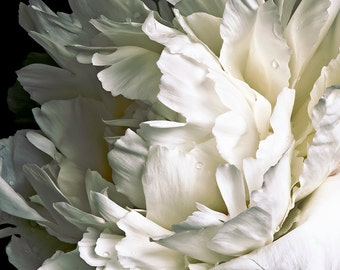 White Peony on Black Background #013 Cropped, fine art flower photography, giclée photograph nature wall art print home decor