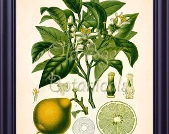 Kohler 11x14 Botanical Art Print BERGAMOT ORANGE Citrus Bergamia Risso Vintage Yellow Green Fruit Plate Room Wall Decor LP0722