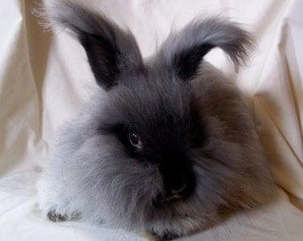 100% English Angora Wool-Undyed-Nigella Bunny-1 ounce
