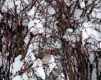 Photography card-Bird card-Winter card-Bird and berries-Bird and snow-Bird, berries and snow-Winter Photograph-Nature -Bird Photograph